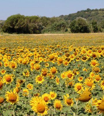 sunflower-moments-3J8Q6WW (Custom)